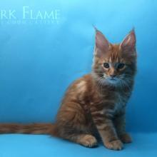 Calipso Dark Flame 2 месяца