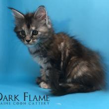 Europa Dark Flame 1.5 месяца