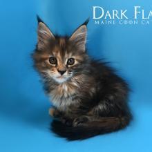 Daykiry Dark Flame 1.5 месяца
