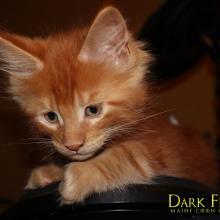 Cortez Dark Flame 1,5 месяца
